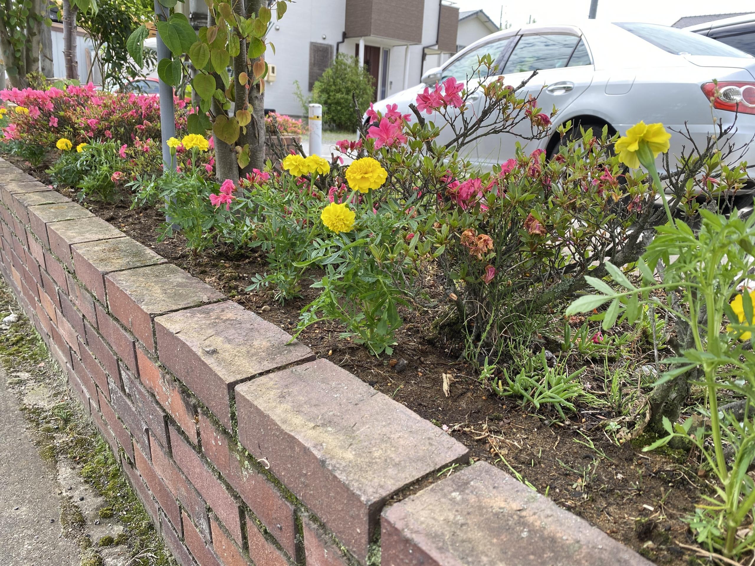 長野県建設業協会から頂いたマリーゴールドを花壇に植えました。