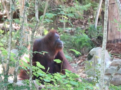 茶臼山動物園「オランウータンの森」 新居へお引越!