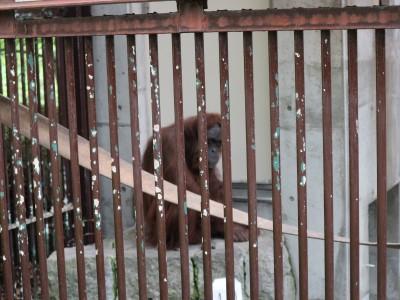 茶臼山動物園「オランウータンの森」 キッキの訃報を受けて